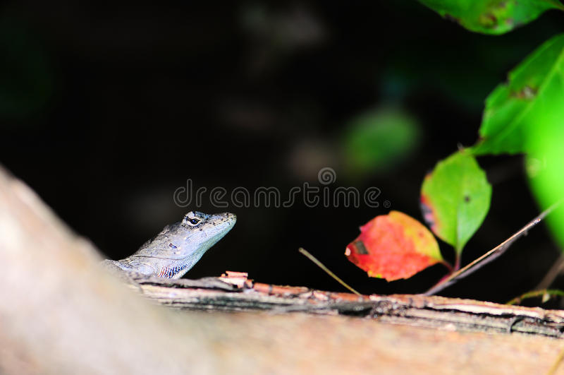 Download Grey Lizard stock photo. Image of nature, colors, macros - 21384502