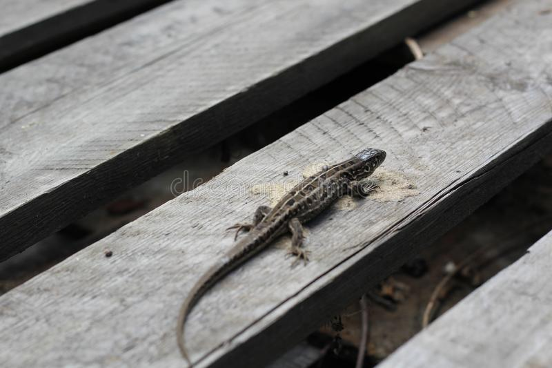 Grey lizard sits on a grey wooden pallet. sample of mimicry stock image