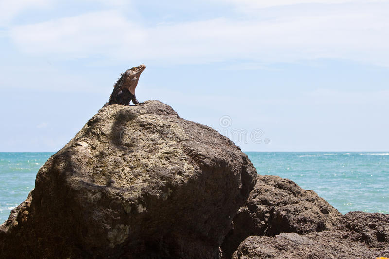 Grey lizard sitting on a stone stock images
