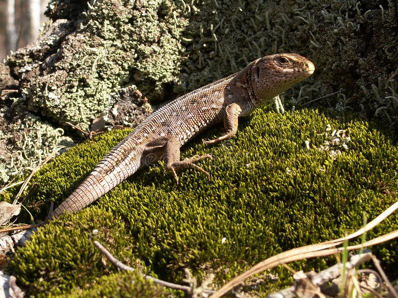 Grey lizard which sits on the moss. Close-up stock photography