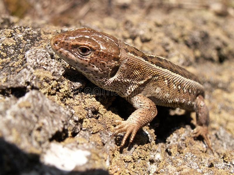 Grey lizard which sits on a stone stock images