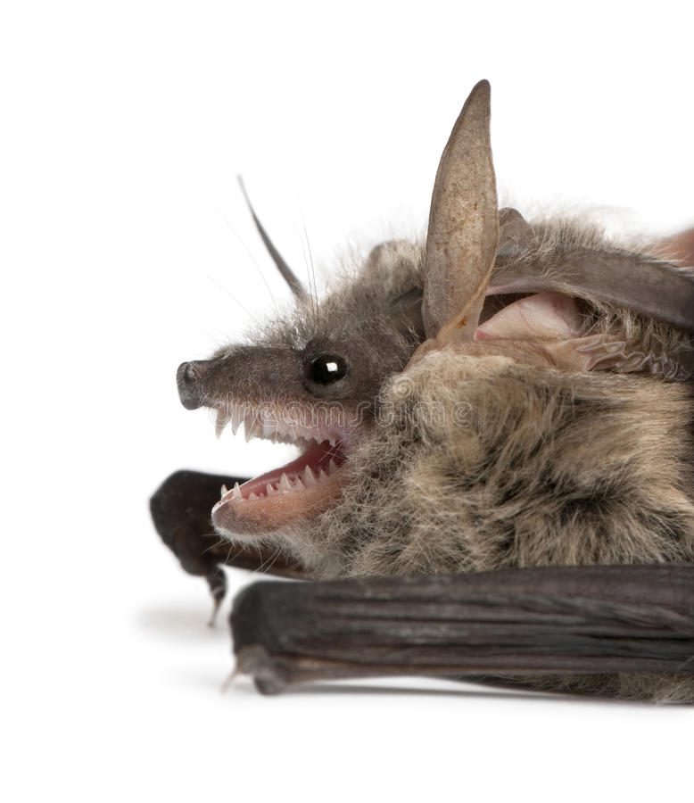 Grey long-eared bat, against white background stock photos