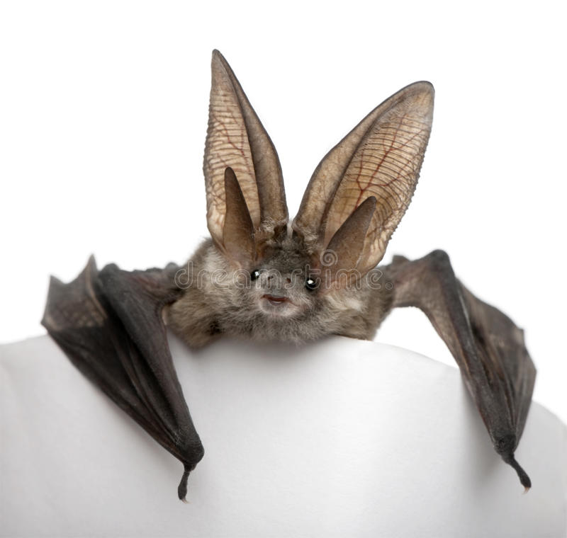 Grey long-eared bat, against white background stock images