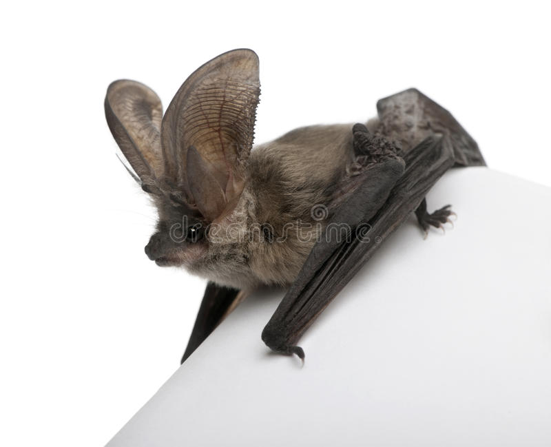 Grey long-eared bat, against white background stock image
