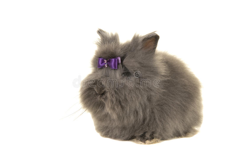 Grey long haired Angora rabbit on a white background stock photo