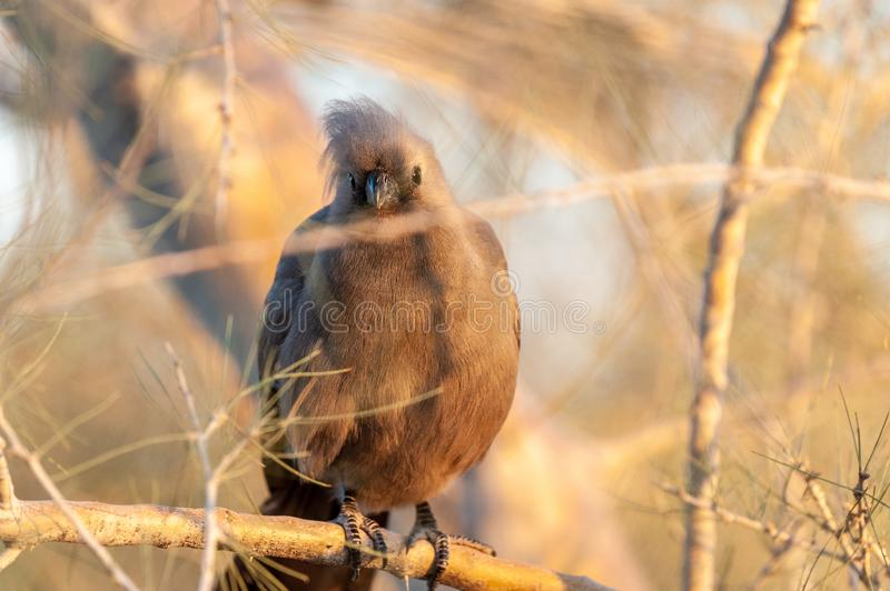 A grey lourie -Corythaixoides concolor sitting on a tree. A grey lourie -Corythaixoides concolor- or Grey Go-away-bird sitting in a tree near Twyfelfontein stock image