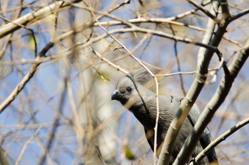 Grey Lourie, das heraus von den Büschen blickt lizenzfreie stockfotografie