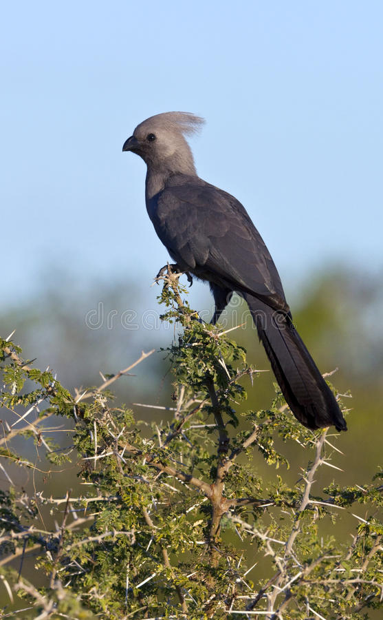 Grey Lourie or Go-Away Bird - Botswana stock photography