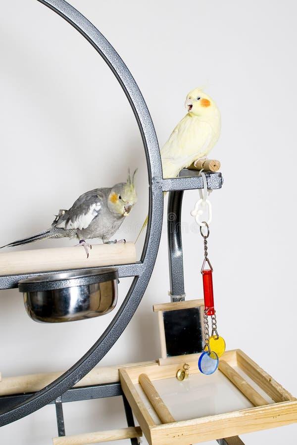 Grey and lutino cockatiel couple stock photo
