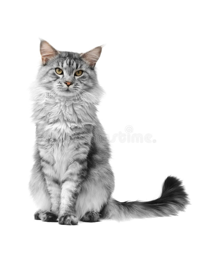 Grey maine coon cat royalty free stock photos