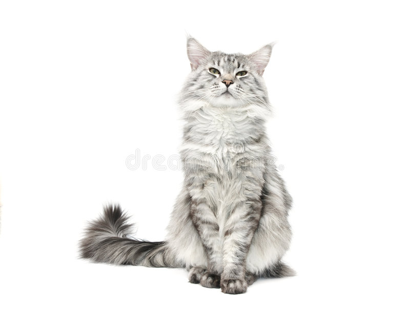 Download Grey maine coon cat stock photo. Image of looking, camera - 7510376