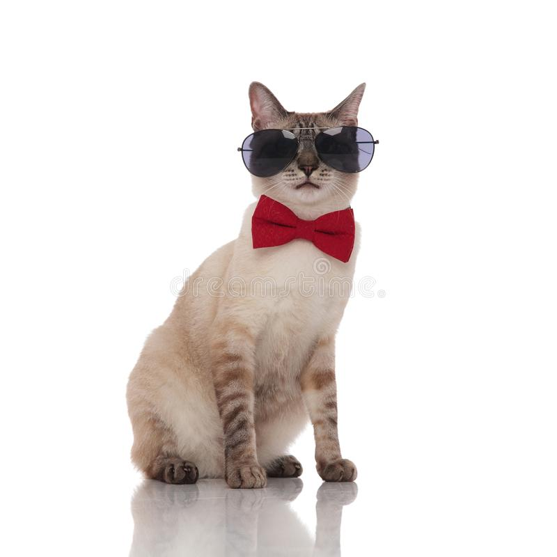 Grey metis cat wearing sunglasses and bowtie sits. Grey metis cat wearing sunglasses and red bowtie sits on white background royalty free stock images