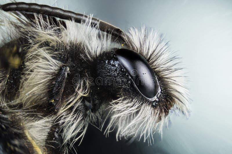 Grey Mining Bee, abeja, abejas foto de archivo