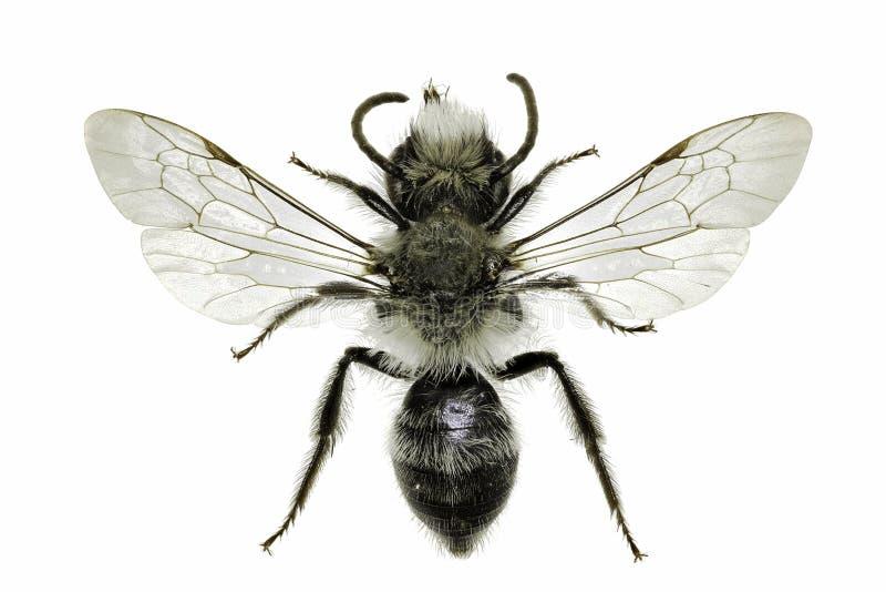 Grey Mining Bee en el fondo blanco imagenes de archivo