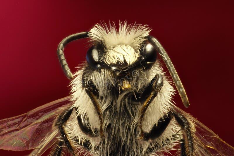 Grey Mining Bee en fondo rojo foto de archivo