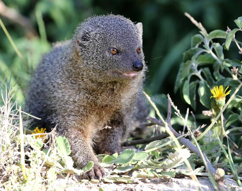 Grey Mongoose fotografia stock