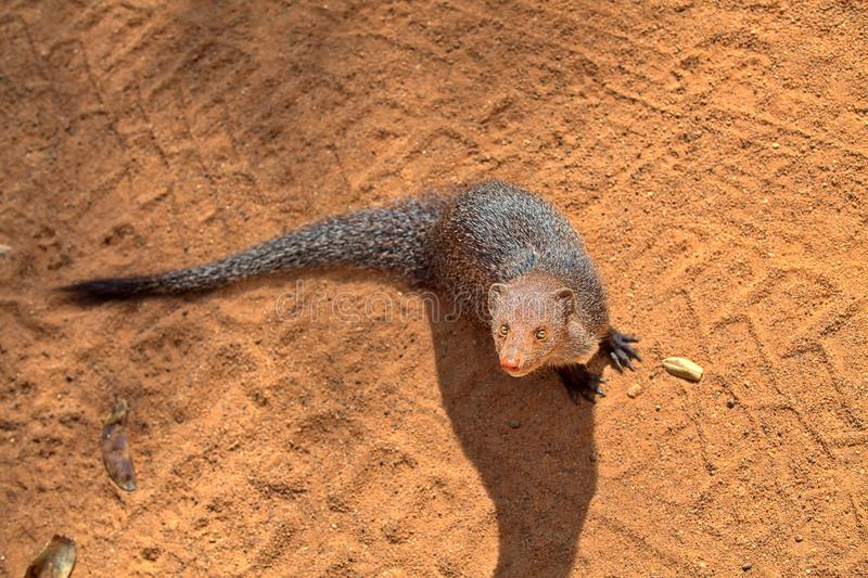 Grey Mongoose indiano nel Yala Nationalpark fotografia stock