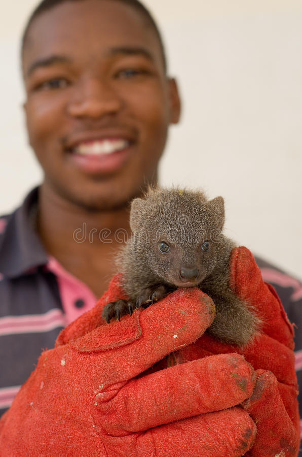 Grey mongoose rescued from traditional African. HOWICK - 26 FEBRUARY 2013: A juvenile grey mongoose rescued from the African muti trade is held by Israel Silevu stock image