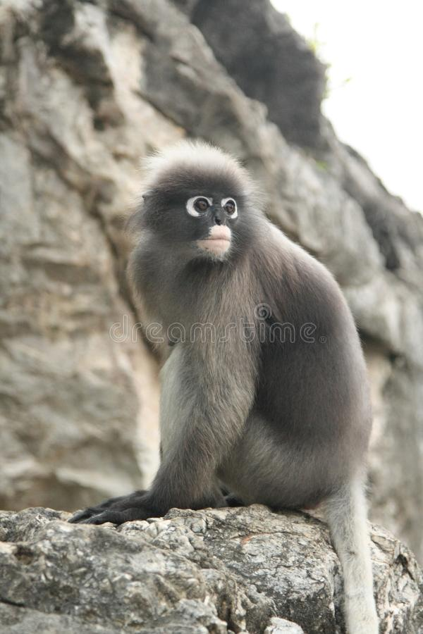 Grey monkey on the rock. royalty free stock photo