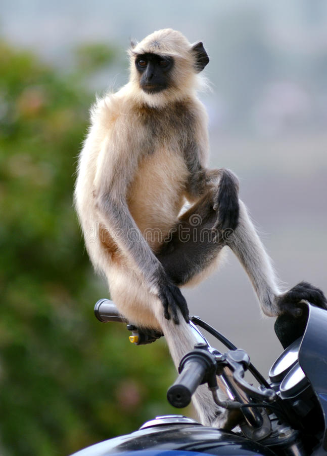 Grey monkey sitting on a bike's handle. A grey monkey or Asian langur funny sitting on the handle of a bike stock images