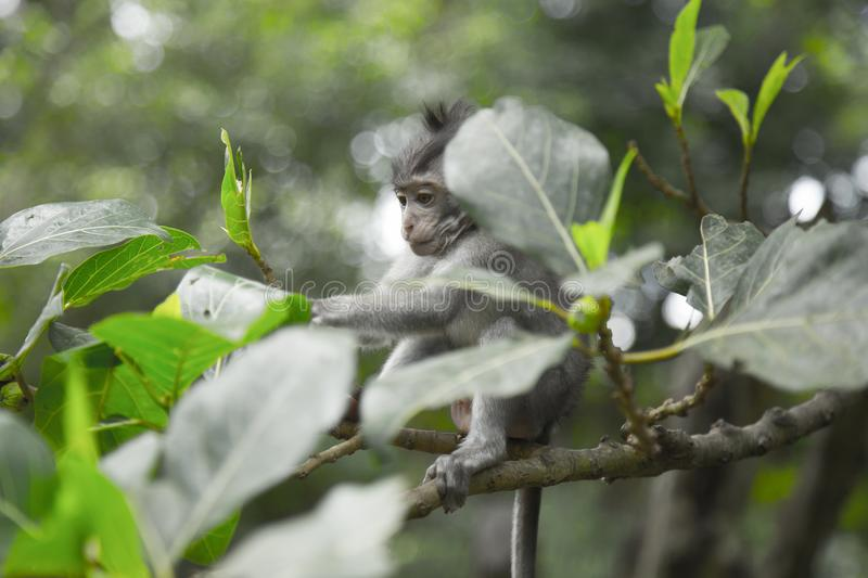 Grey Monkey On Tree Branch stock photo