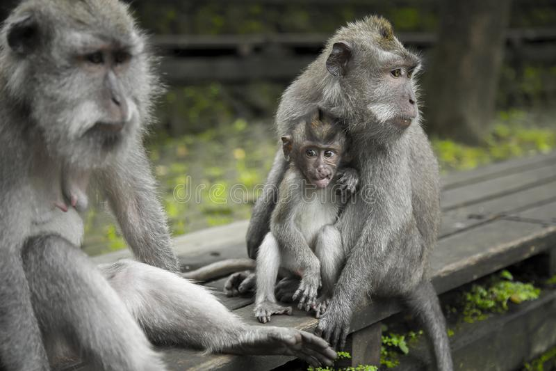 Grey Monkeys On Top Of Brown Table royalty free stock photos