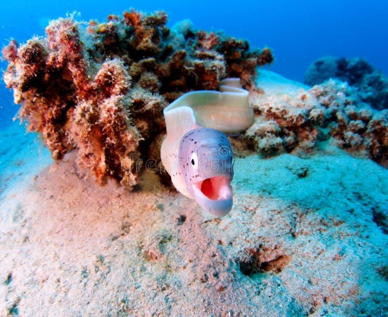 Grey Moray of Peppered Moray Eel Red Sea Attack stock afbeeldingen