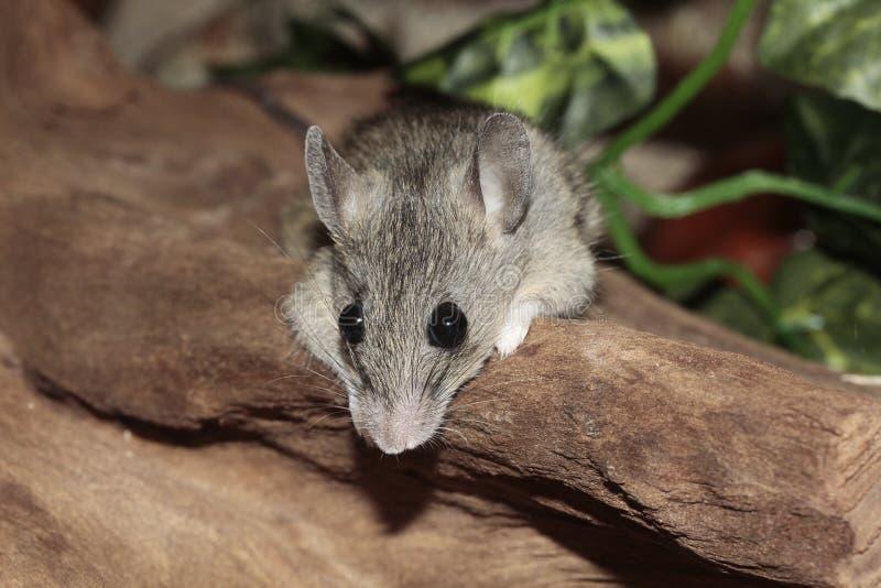 Grey Mouse alla roccia di Brown fotografia stock