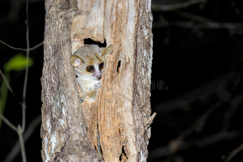 Download Grey Mouse Lemur, Kirindy Royalty Free Stock Photography - Image: 26827107