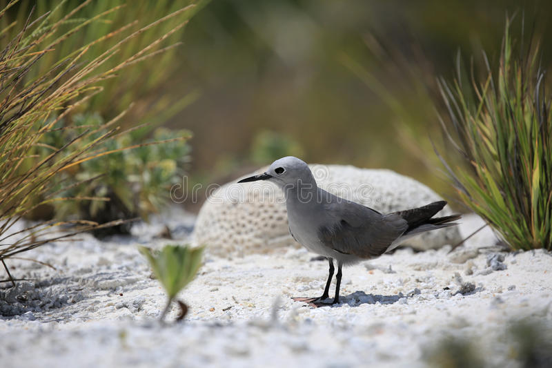 Grey Noddy sitting on a beach. Grey Noddy bird sitting on a beach, Christmas (Kiritimati) Island, Kiribati stock image