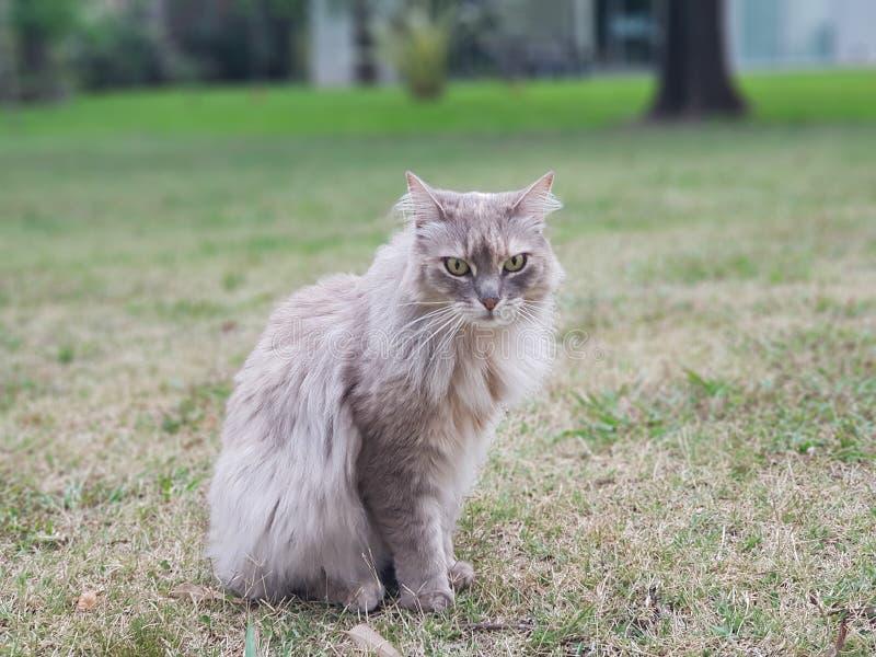 Grey Norweigan Cat royalty-vrije stock afbeeldingen