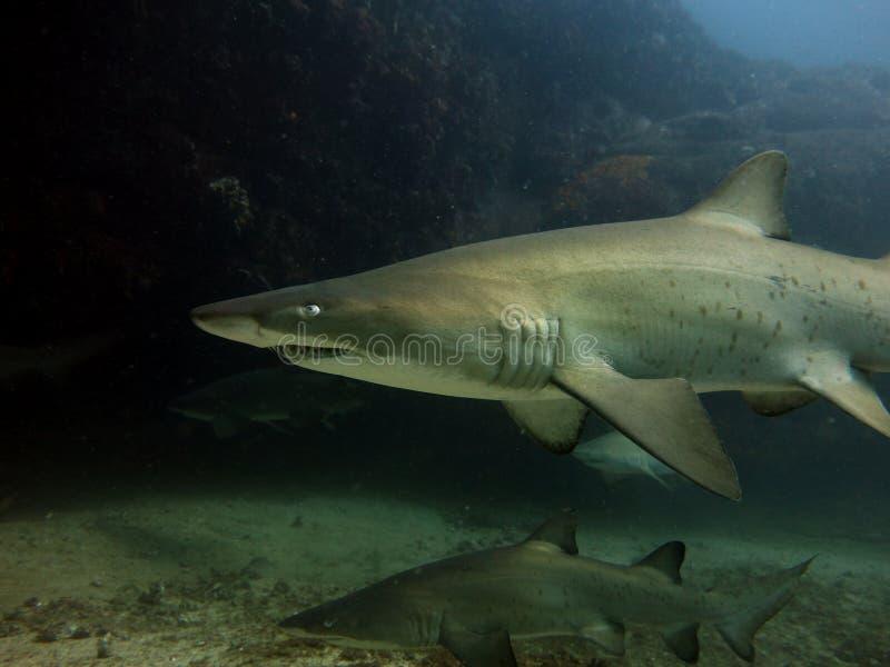 Grey Nurse-haai stock fotografie