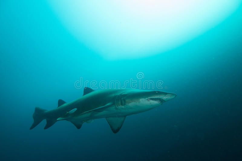 Grey Nurse Shark med solljus royaltyfria bilder
