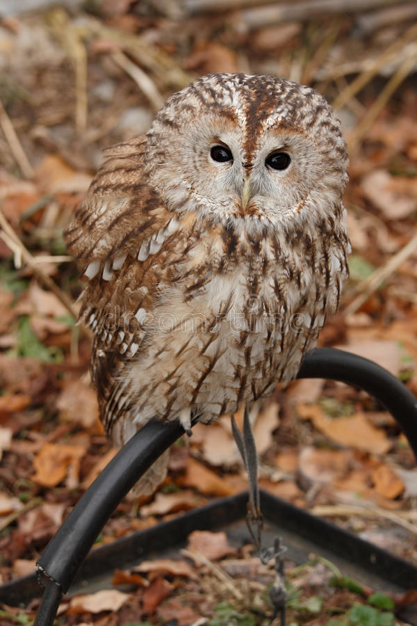 Download Grey Owl. (Strix aluco). stock image. Image of captivity - 26546759