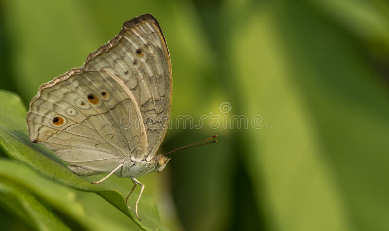 Grey Pansy Butterfly fotografia de stock royalty free