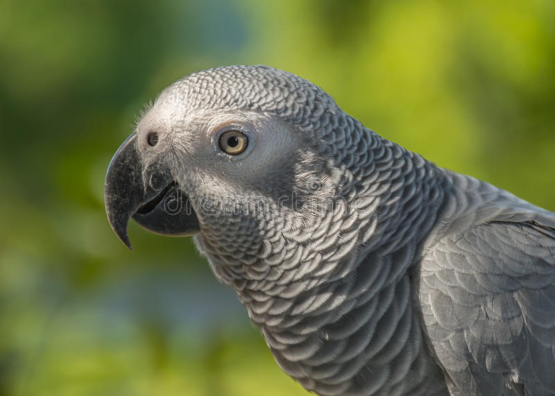Grey Parrot eller papegoja för afrikanska grå färger royaltyfria bilder