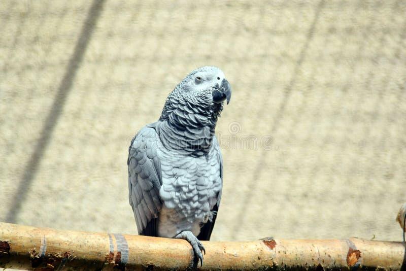 Grey Parrot Psittacus Erithacus Sitting på sittpinnen royaltyfria foton