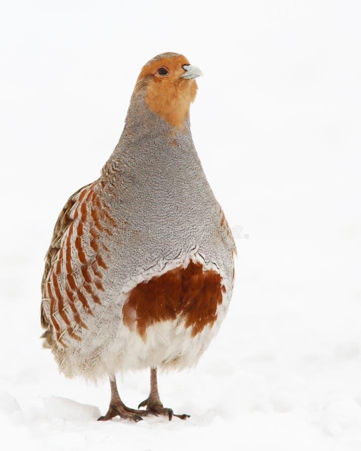 Download Grey Partridge Royalty Free Stock Image - Image: 23413716