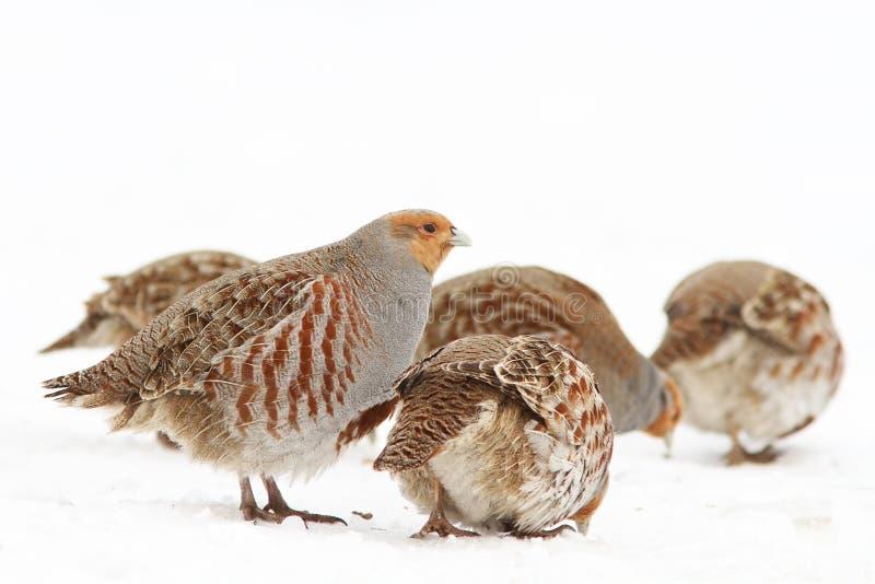 Download Grey Partridge stock photo. Image of grass, bird, female - 23413776
