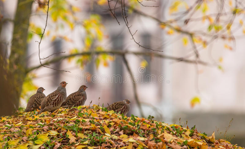 Grey Partridge-Gruppe im Wald stockfotos
