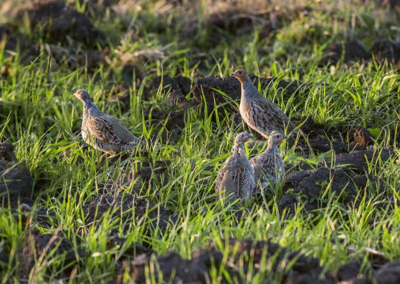 Grey Partridges imagenes de archivo