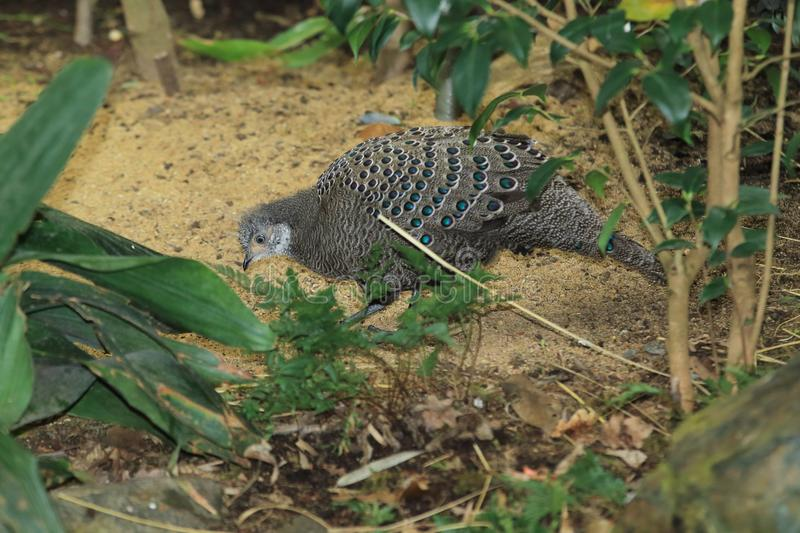 Grey peacock-pheasant. In the soil stock photo