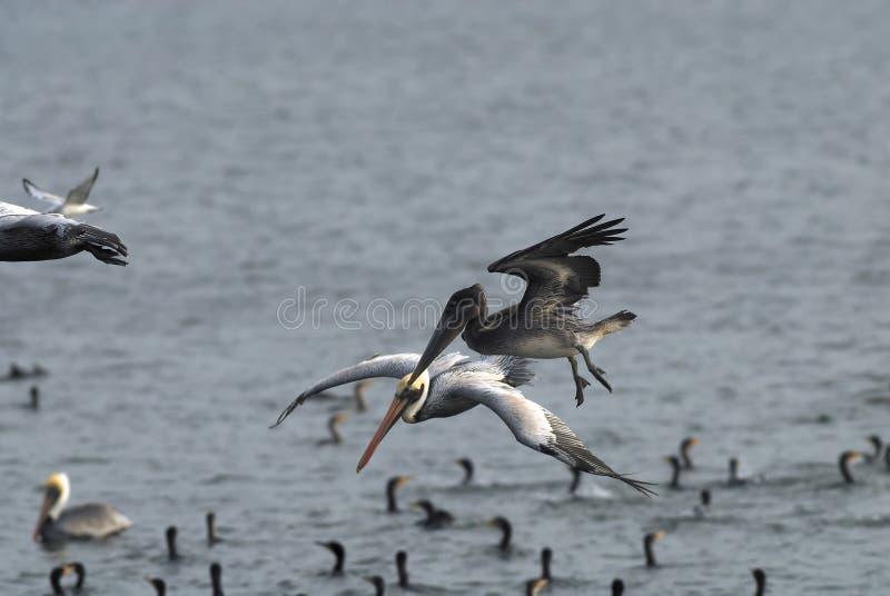 Download Grey Pelican stock photo. Image of gracefully, fauna, darling - 4563644