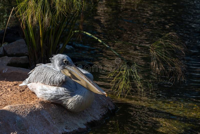 Grey Pelican in Bioparc in Valencia Spain op 26 Februari, 2019 stock foto's