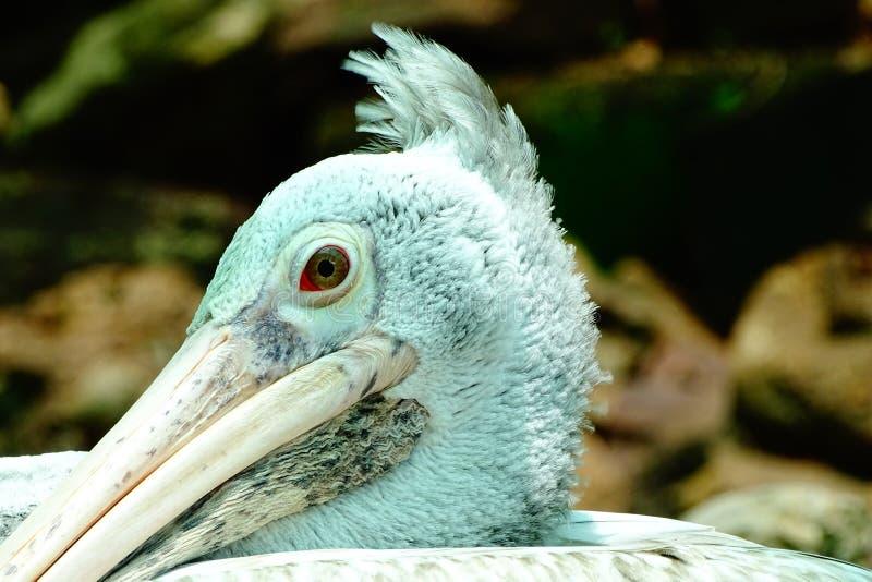 Grey Pelican Bird lizenzfreies stockfoto