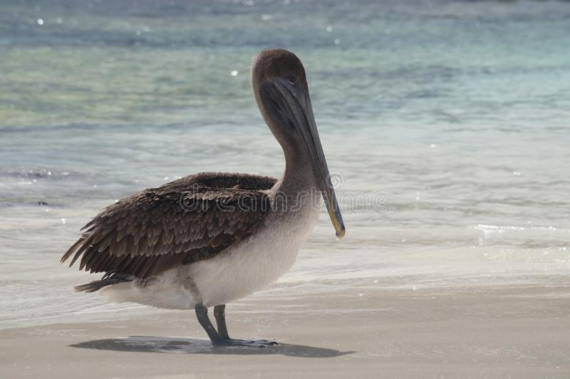 Grey Pelican Bird Pelecanus-occidentalis urinator stockfotos
