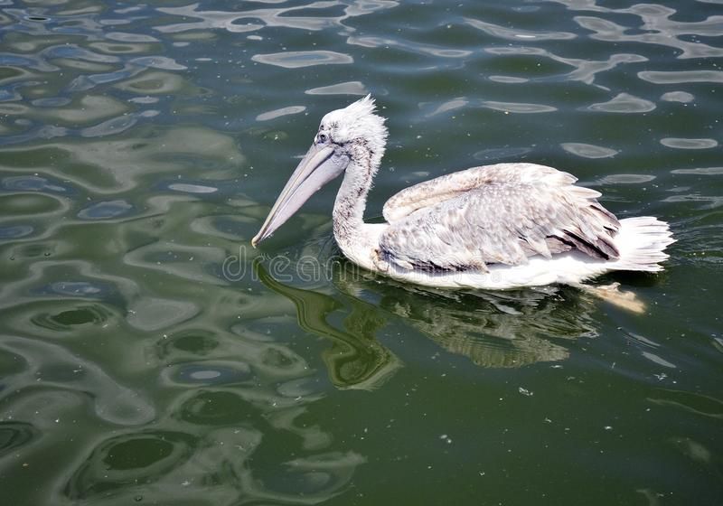 Grey pelican in the green water royalty free stock photo