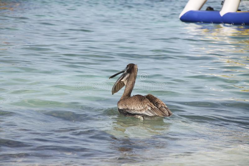 Grey pelican in the sea stock image