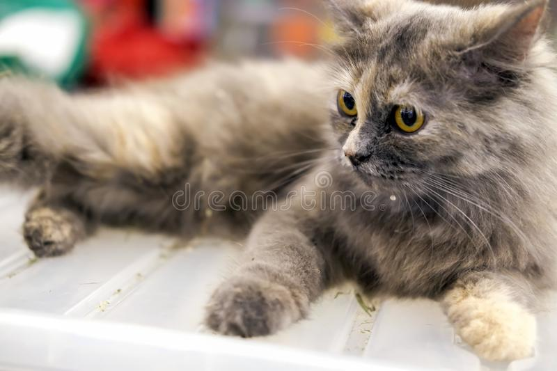 The grey Persian cat sit on a box stock images