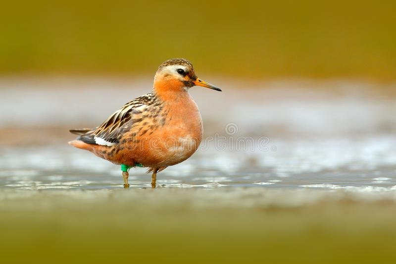 Grey Phalarope, Phalaropus fulicarius, orange and brown water bird in the grass nature habitat, Longyaerbyen, Svalbard, Norway. Wi. Ldlife scene from nature royalty free stock image